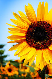 sunflower pictures breathtaking collection of beautiful sunflower photos blueblots