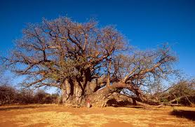 baobab trees attacked by mammal phenomena curiously krulwich