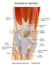 3d Knee Anatomy Tendonitis Stock Images Royalty Free Images U0026 Vectors Shutterstock
