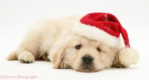 dog golden retriever pup wearing a santa hat photo wp15364