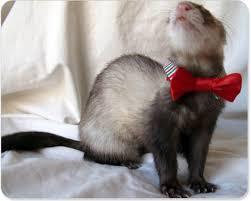 Ferret Costumes Halloween Ferret Bow Tie Bow Ties Ferret