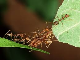 farmers in tropical forests are training ants to kill off bigger