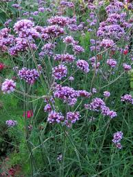 Pflanzen Fur Japanischen Garten Garten Anders Pflanzentipp Für Den Herbst Hohes Eisenkraut