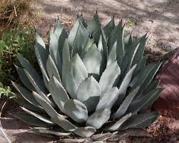 native plant source the truth about agave nectar holistic blogs pinterest