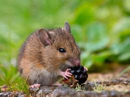 Are Mice Blind Mice U2014 Kidcyber