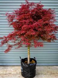 buy japanese maple trees the tree center