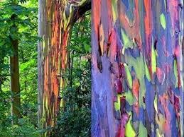 cheap rainbow tree seeds find rainbow tree seeds deals on line at