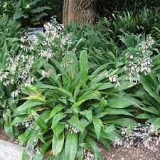 matapouri bay arthropodium backyard ideas pinterest