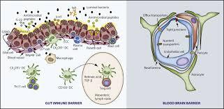 Blood Brain Barrier Anatomy The Gut Immune Barrier And The Blood Brain Barrier Are They So