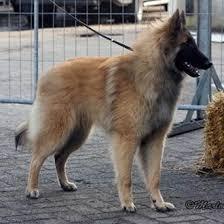 belgian sheepdog newsletter 27 best belgian shepherd images on pinterest belgian shepherd