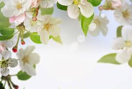 cherry flowers wallpapers flowers nature flowers soft blossom cherry spring photography