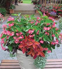 99 best begonias begonias begonias images on pinterest flowers