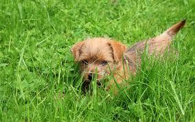 bichon frise z hter schweiz norfolk terrier puppies breed information u0026 puppies for sale