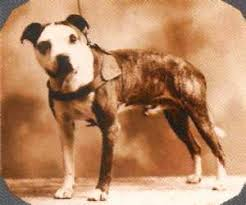 colby american pitbull terrier john p colby family and dogs page 7