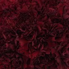 burgundy flowers carnation flowers