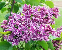 lilacs plant care and collection of varieties garden org