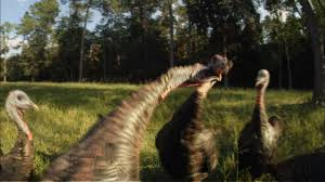 funny images of turkeys in thanksgiving my life as a turkey domesticated versus wild graphic nature pbs