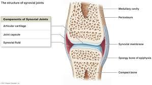 Diagram Of Knee Anatomy Articulations