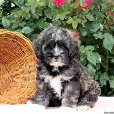 bichon frise shih tzu mix for sale shih tzu mix puppies for sale in de md ny nj philly dc and baltimore