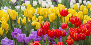 pictures of beautiful gardens with flowers wilhelmina tulip garden