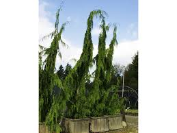 hemlock tree fast growing privacy trees nurseries trees big