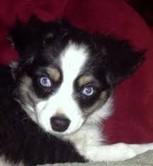 raising an australian shepherd beartooth toy aussies specialize in raising quality small toy