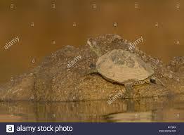 Ringed Map Turtle Chambal River Stock Photos U0026 Chambal River Stock Images Alamy