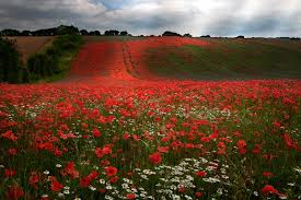 field of poppies 1920 x 1280 nature photography miriadna com