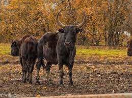 beefalo wikipedia