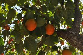 Judge A Tree By Its Fruit - predict winter weather with a persimmon seed the old farmer u0027s