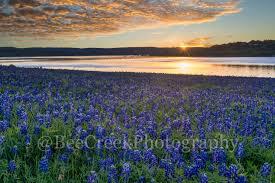 golden bluebonnet sunrise bee creek photo