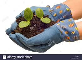 gardening gloves cradling baby plants stock photo royalty free