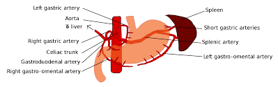 Anatomy Human Abdomen Gastric Artery Anatomy Choice Image Learn Human Anatomy Image