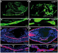 drosophila laminins act as key regulators of basement membrane