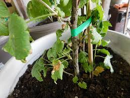 mirtillo in vaso concimazione piante di mirtilli e ribes piccoli frutti