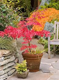 this golden maple makes a beautiful potted tree in this terra
