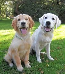 Comfort Golden Retriever Breeders Comfort Dog To Join Immanuel Lutheran Church In East Dundee