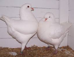 pigeons cyprus pets animals