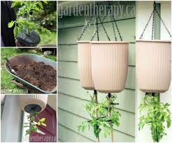 upside down tomato planter pictures photos and images for