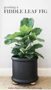 Fiddle Leaf Fig Tree Care by Tips U0026 Tricks For Growing A Fiddle Leaf Fig Tree Sincerely Sara D