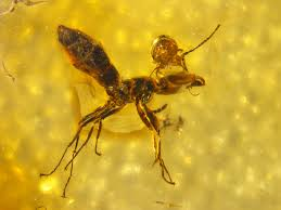 photo mite attacking ant entombed in amber oldest fossil of its