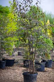 birch royal creekside tree nursery