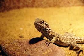 free images central bearded dragon lizard pogona vitticeps