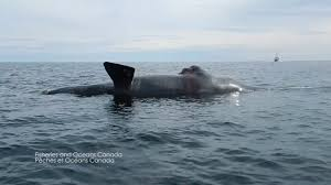 north atlantic right whales youtube