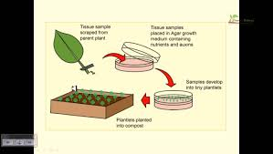 100 in vitro culture of trees production of anthocyanins in