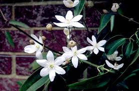 Climbing Plants For North Facing Walls - clematis armandii armand clematis rhs gardening