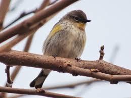 geotripper u0027s california birds bird of the day yellow rumped