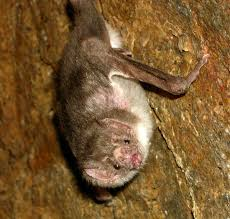common vampire bat wikipedia