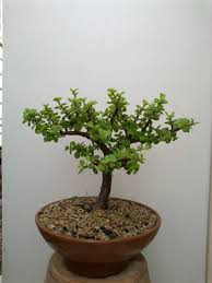 portulacaria afra succulents and bonsai pinterest bonsai