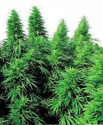 Welche K He Kaufen Cannabis Samen Kaufen Anonym Und Diskret Hanfsamen Net